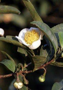 Camellia_sinensis_01